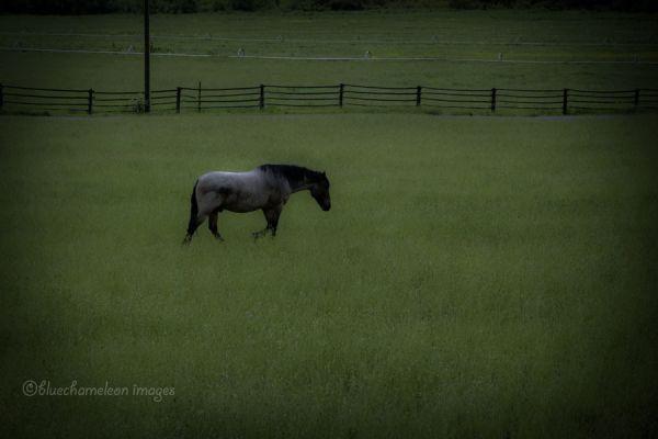 A lone horse walking across a grass field