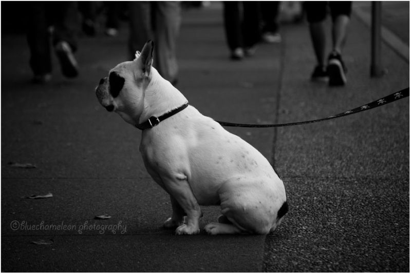Small bulldog sitting on sidewalk, waiting
