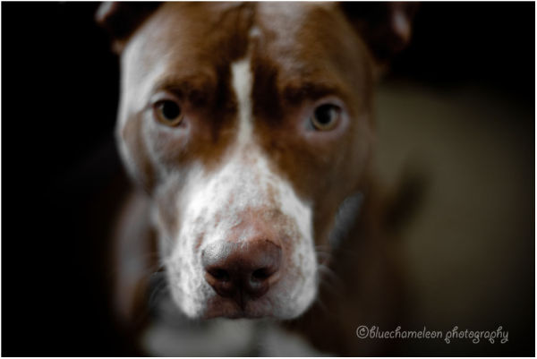 portrait of a pit bull named Sonny Rollins