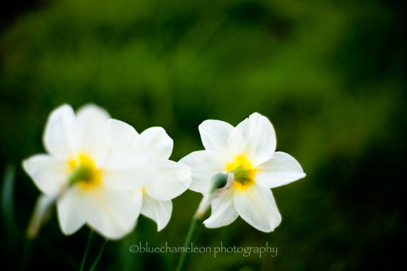 2 daffodils blowing in the wind