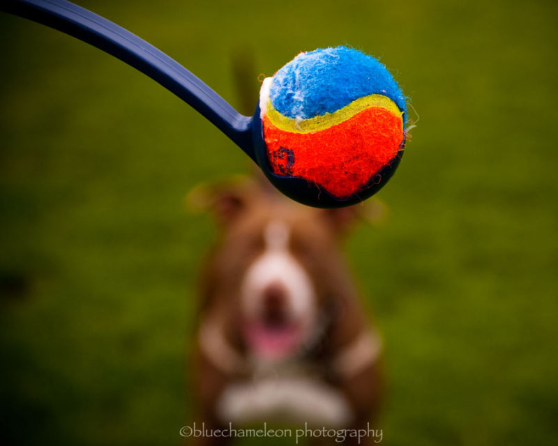 ball in stick with bokeh dog waiting