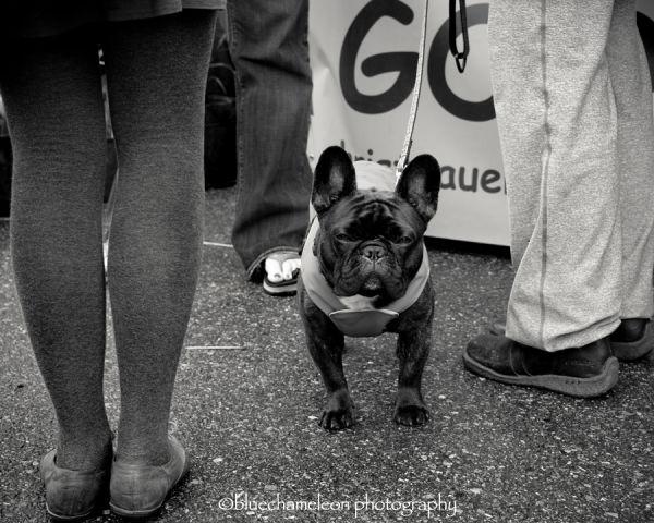 french bull dog on street amongst human legs