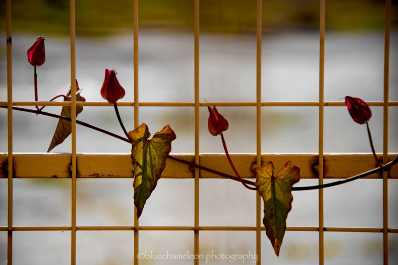 A vine of heart shaped flowers climbing fence
