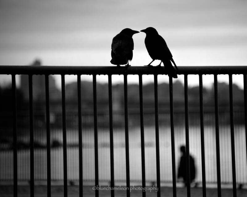 2 crows on a fence with man walking by