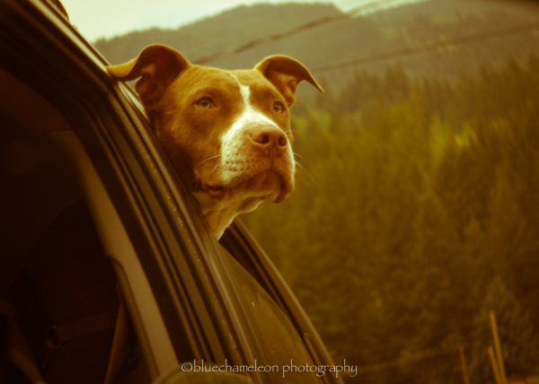 A dog looking outside a car window