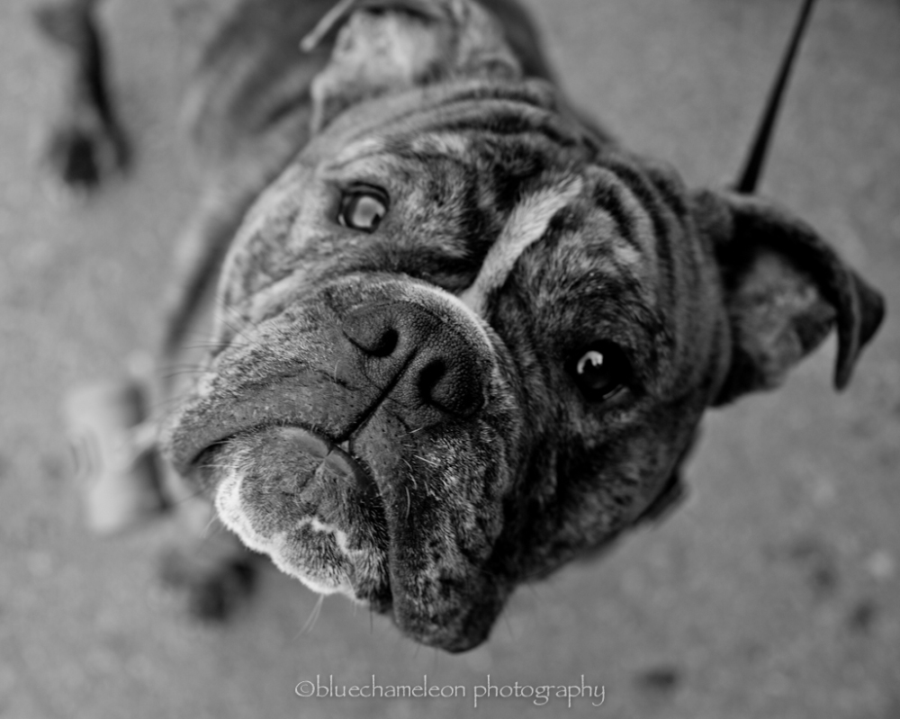 a small bulldog looking into a camera lens