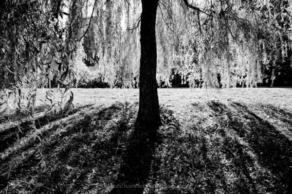 A willow tree casting long shadows.