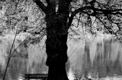 An old willow tree and park bench