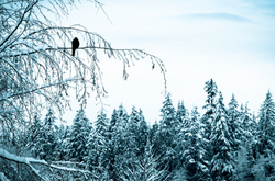A crow sitting in snow covered branches