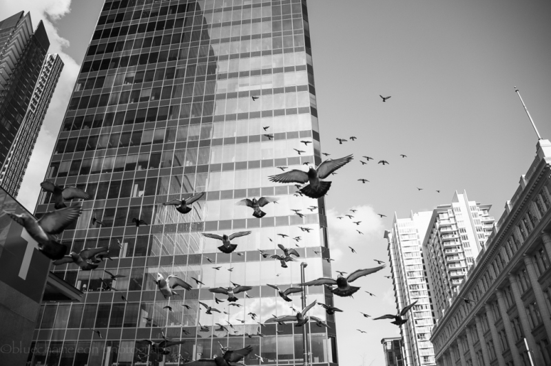 Large flock of pigeons flying through city.