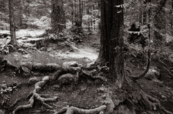 Rocks, roots and trees in a sleeping rain forest