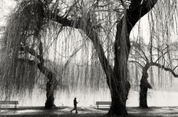 Man and dog walking along water with willow trees