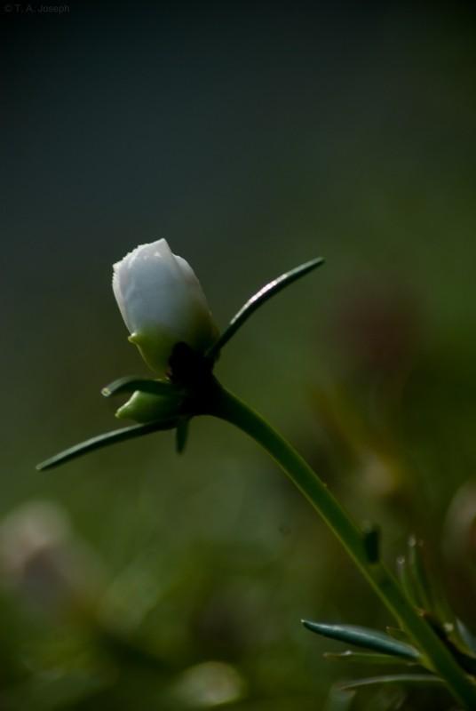 A White Bud