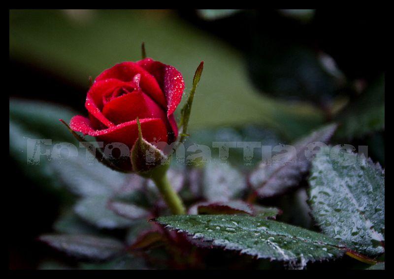 rock'n'rose
