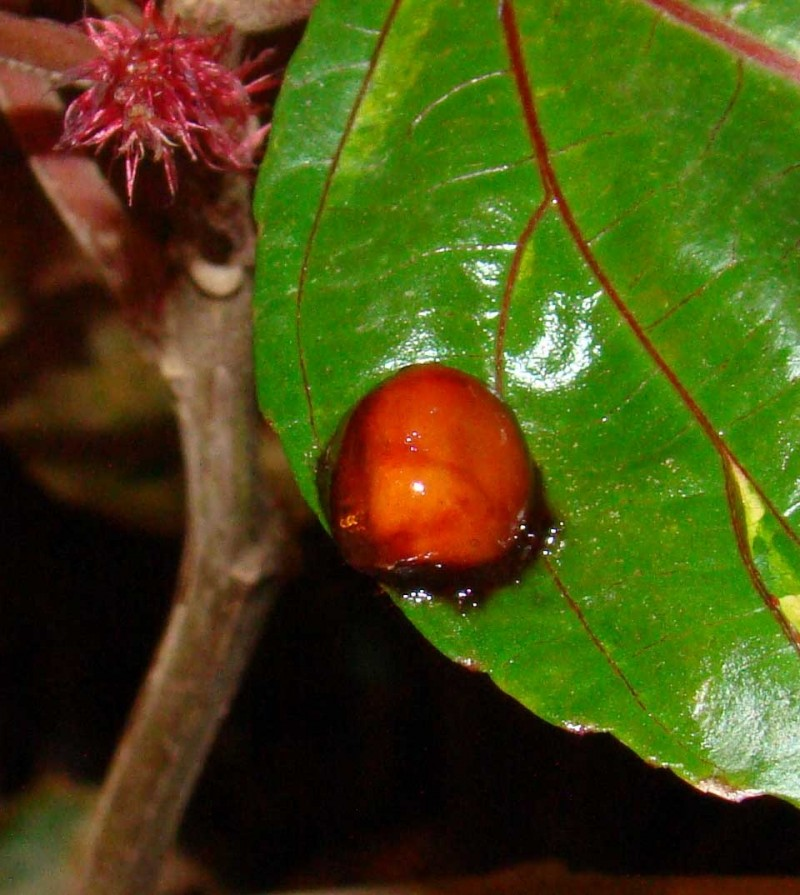 insect or fruit?