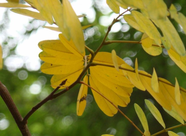 Autumn in monsoon? leaves yellow