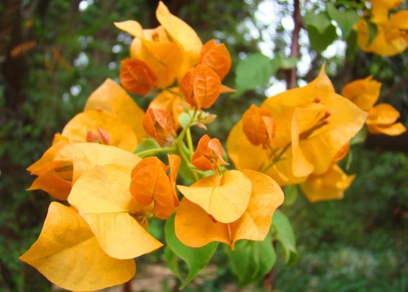 safron flowers in bloom