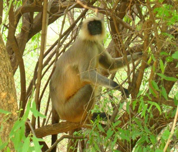 monkey langur looking up
