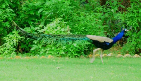 peacock with its royal gait