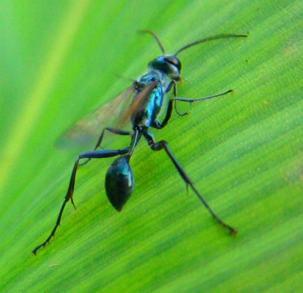 stinging fly blue green