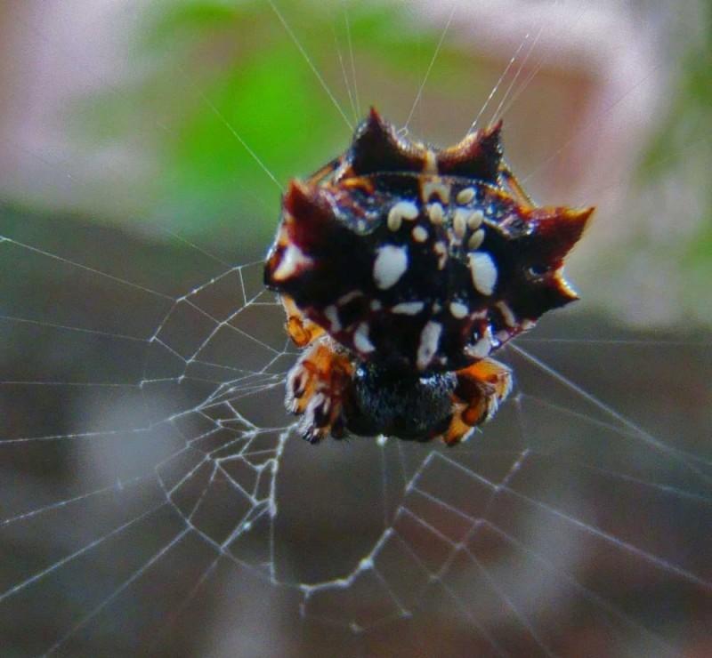scaly spider