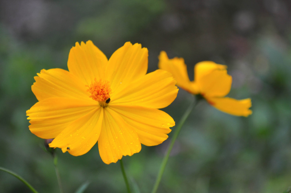 Some more yellow flowers from Darjeling