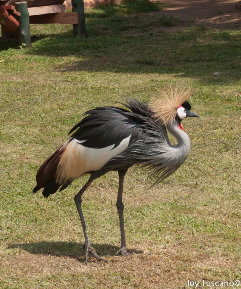 Ugandan Crane