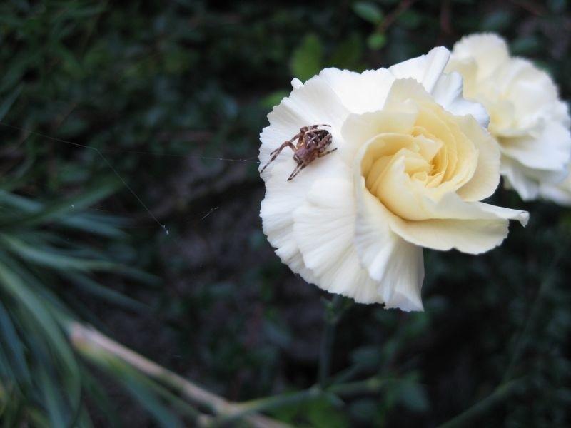 Spider & Flower