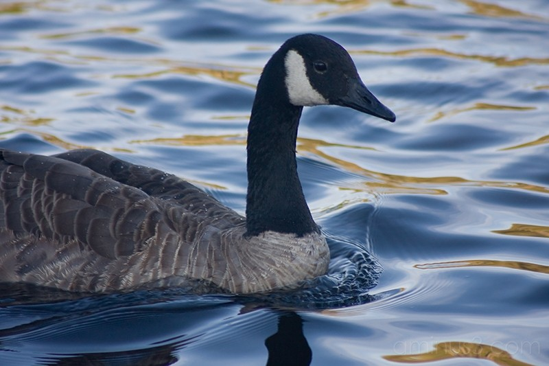Canadian Goose swimming in the blue water