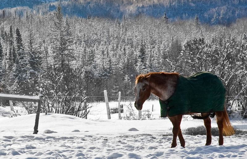 Horse covered in blanket in the snowy field