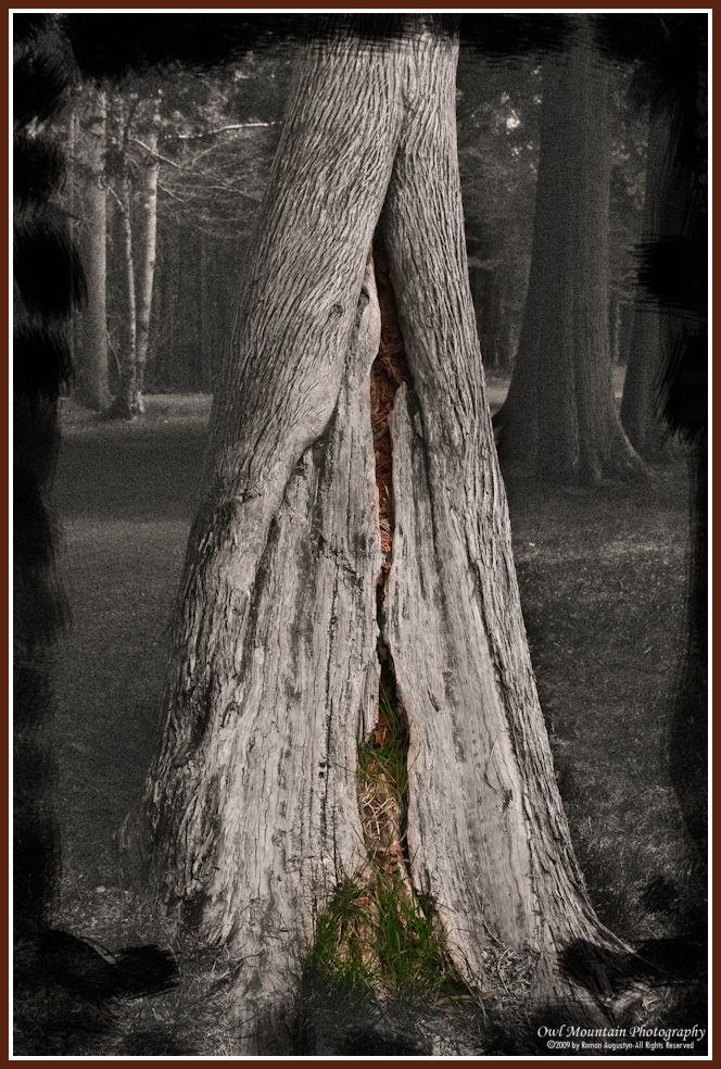 old tree trunk in cedar forest