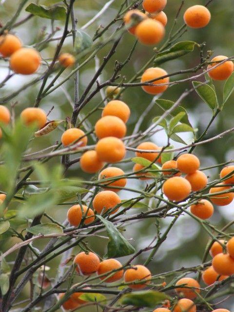 Kumquat Anyone?