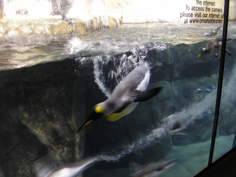 a penguin at the omaha zoo
