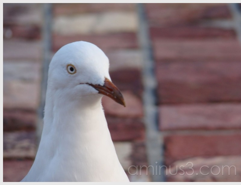 White looking seagull