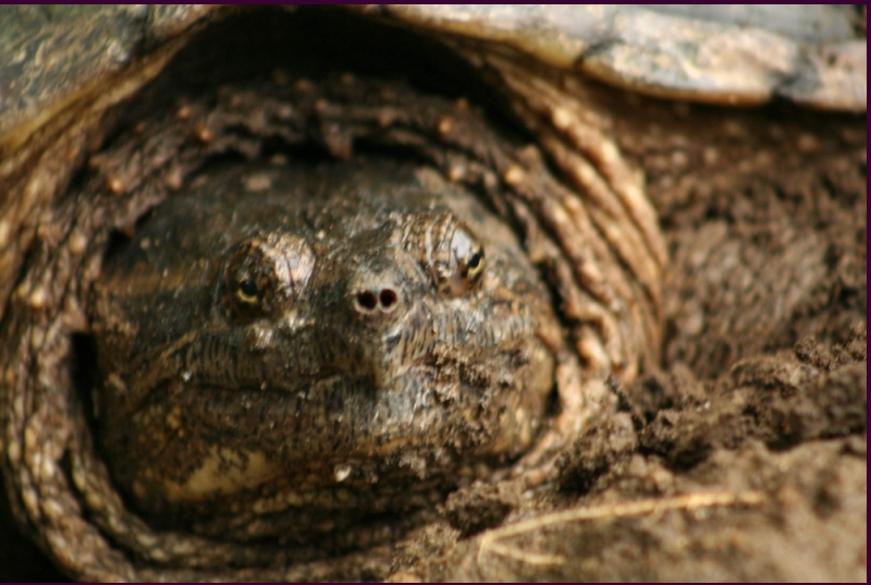 Ms. Snapping Turtle