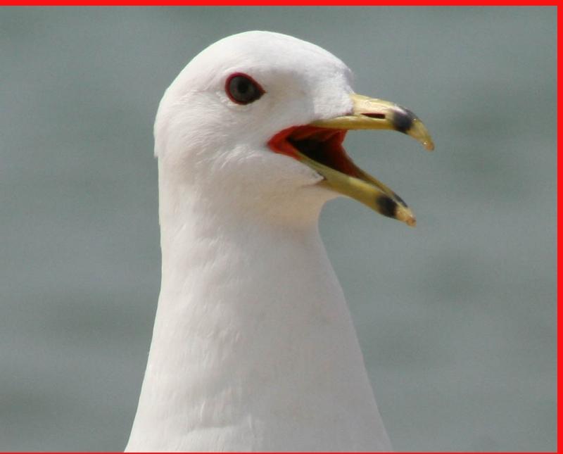 Ring- Billed Gull