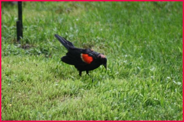 Bald Red-Wing Blackbird