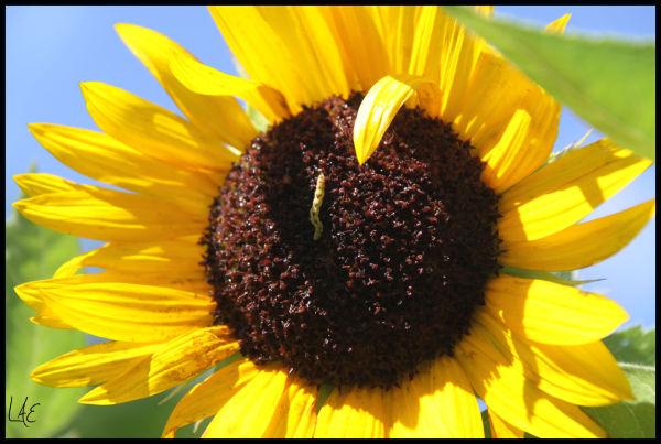 Catapiller and Sunflower