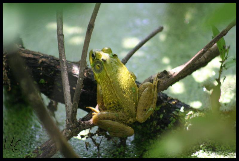 Frog Days