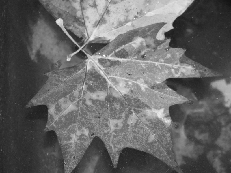 A single maple leaf in all its stark beauty