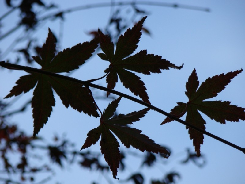 leaves in silhouette