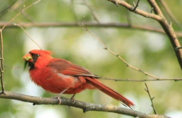 State Bird of VA