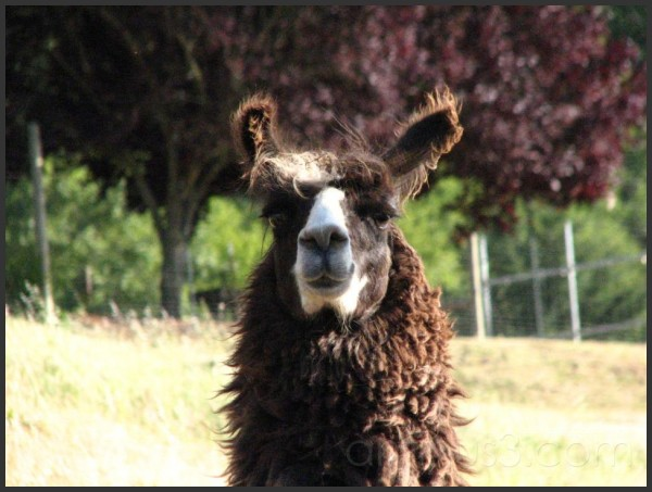A llama stares at me from a distance.