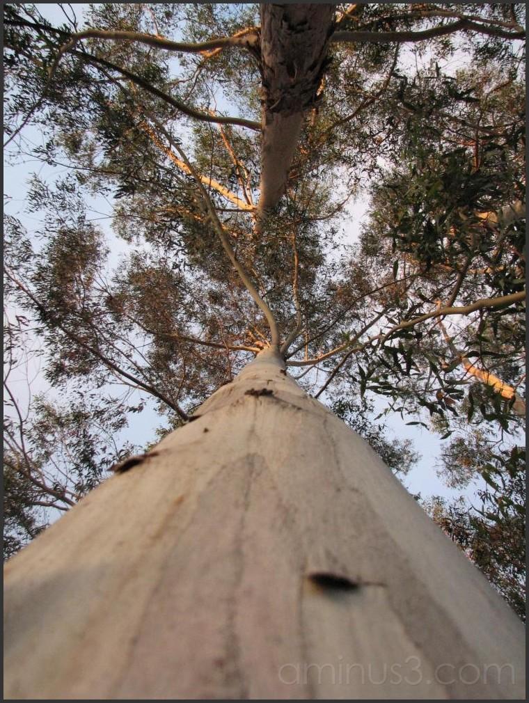 Large eucalyptus near my house.