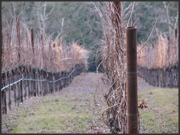 Grape vines in the off season.