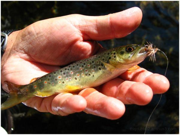 Beautiful brook trout
