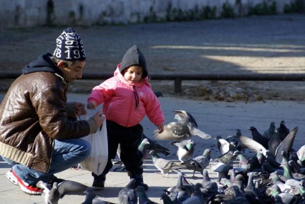 Pigeon, oiseau à la grise robe...