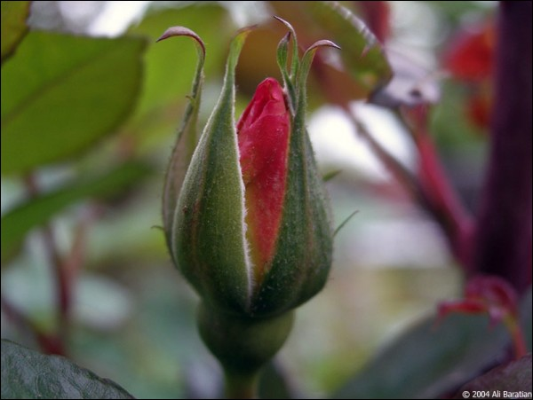 a picture of a florishing rose
