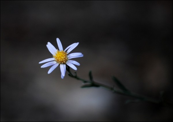 A lonely little wild white flower.