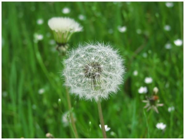 Pissenlit fleurit
